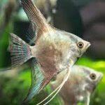 آنجل دودی ( Smokey Angelfish )