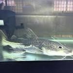 ماهیان هیبرید – کت فیش ها (Hybrid Catfish)