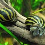 حلزون زبرا ( Zebra Nerite Snail )