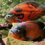 ماهی اسکار (Oscar Fish)